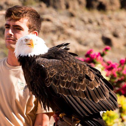Een adelaar in het Palmitos Park op Gran Canaria, Canarische Eilanden, Spanje
