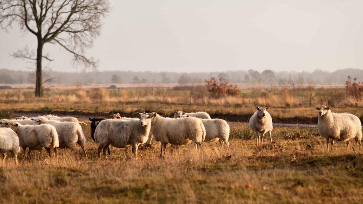 Schaapskudde Dwingelderveld, Drenthe