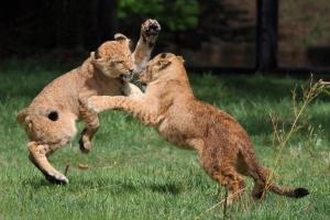 Leeuwen in Safaripark Beekse Bergen