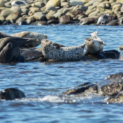 Zeehonden in de zee