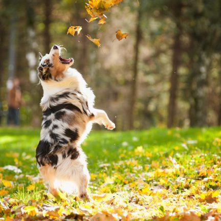 Australische Shepherd speelt met bladeren
