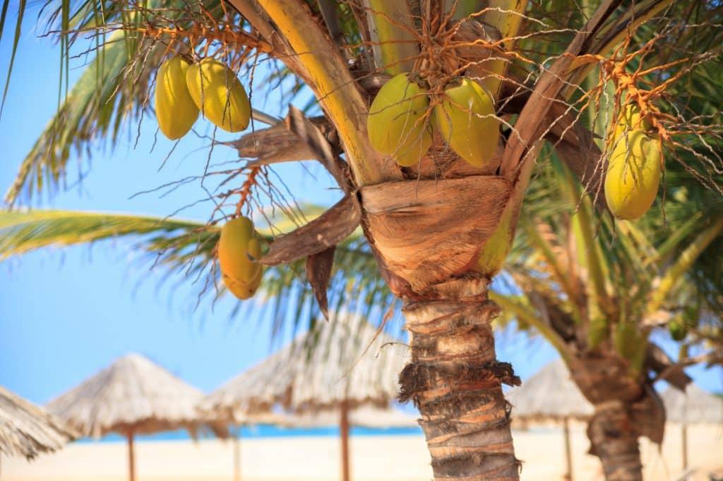 Palmbomen met kokosnoten