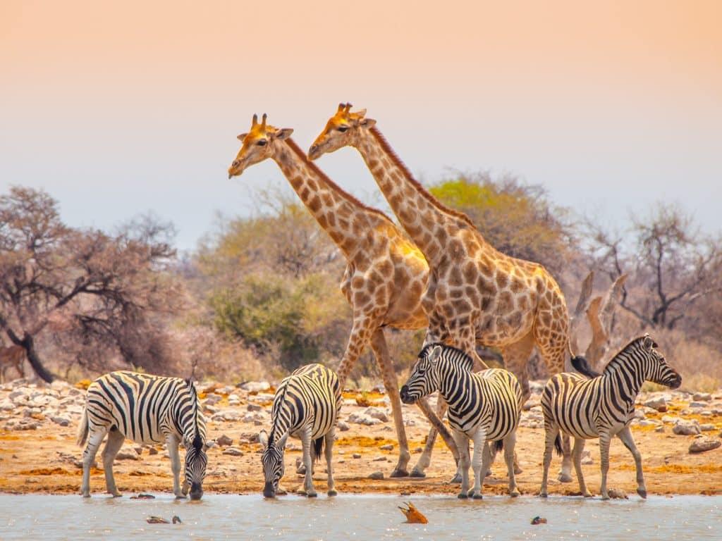 Zebra's en giraffes bij een waterplas