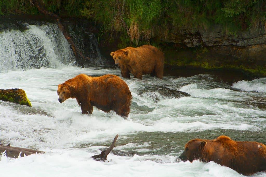 Beren aan het vissen op zalm in Canada