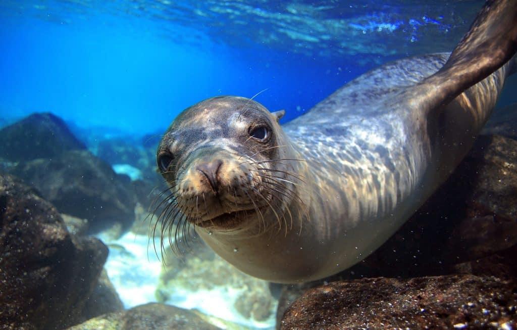 Zeehond onder water bij de Galapagoseilanden