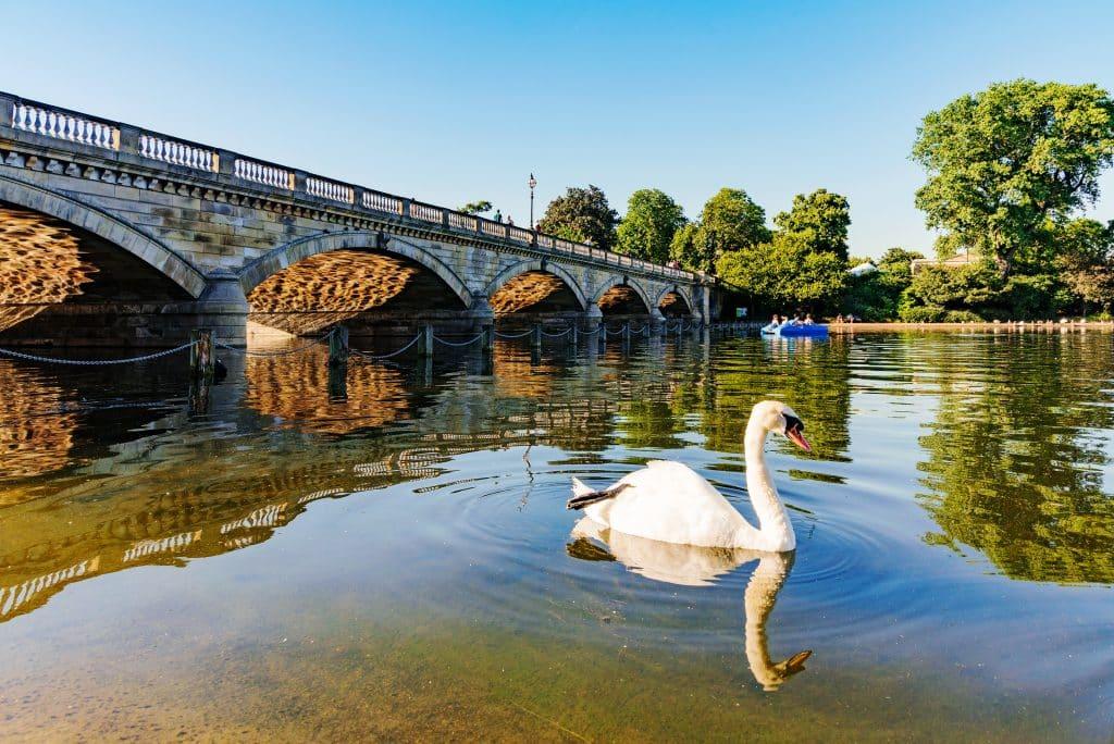Zwaan en brug in Hyde Park in Londen, Verenigd Koninkrijk