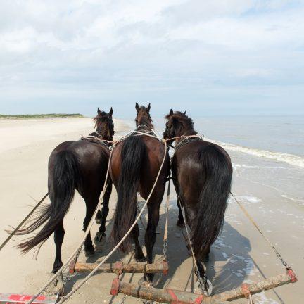 Paarden op het strand van Terschelling