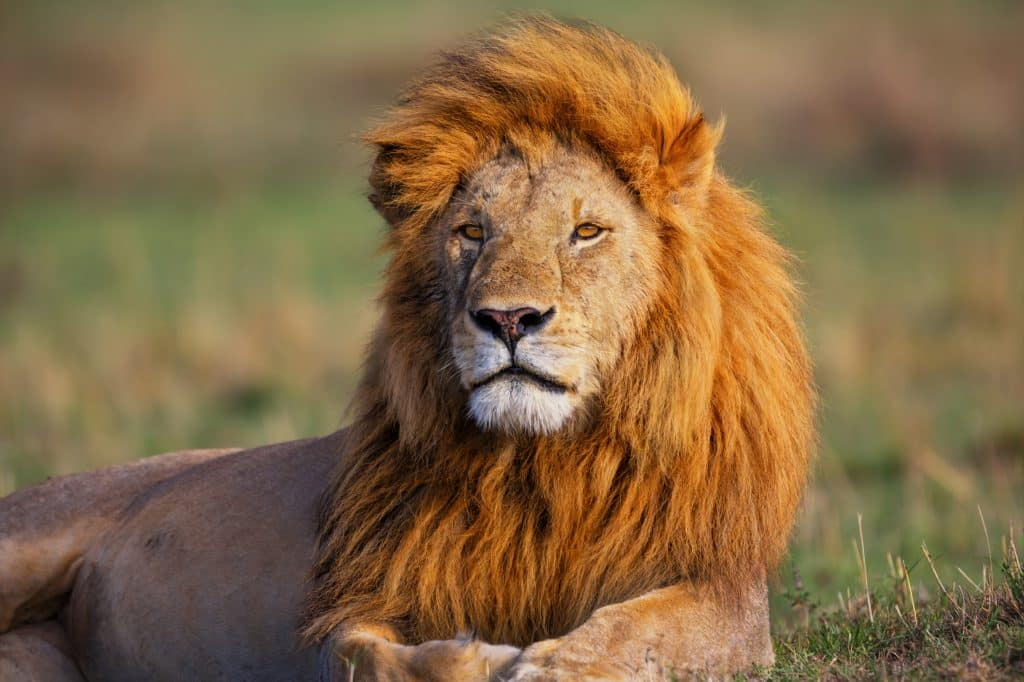 Leeuw in Zuid-Afrika