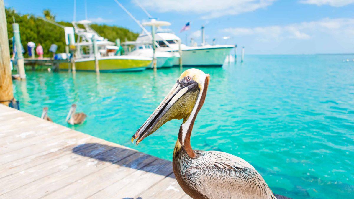 Grote bruine pelikaan in Florida