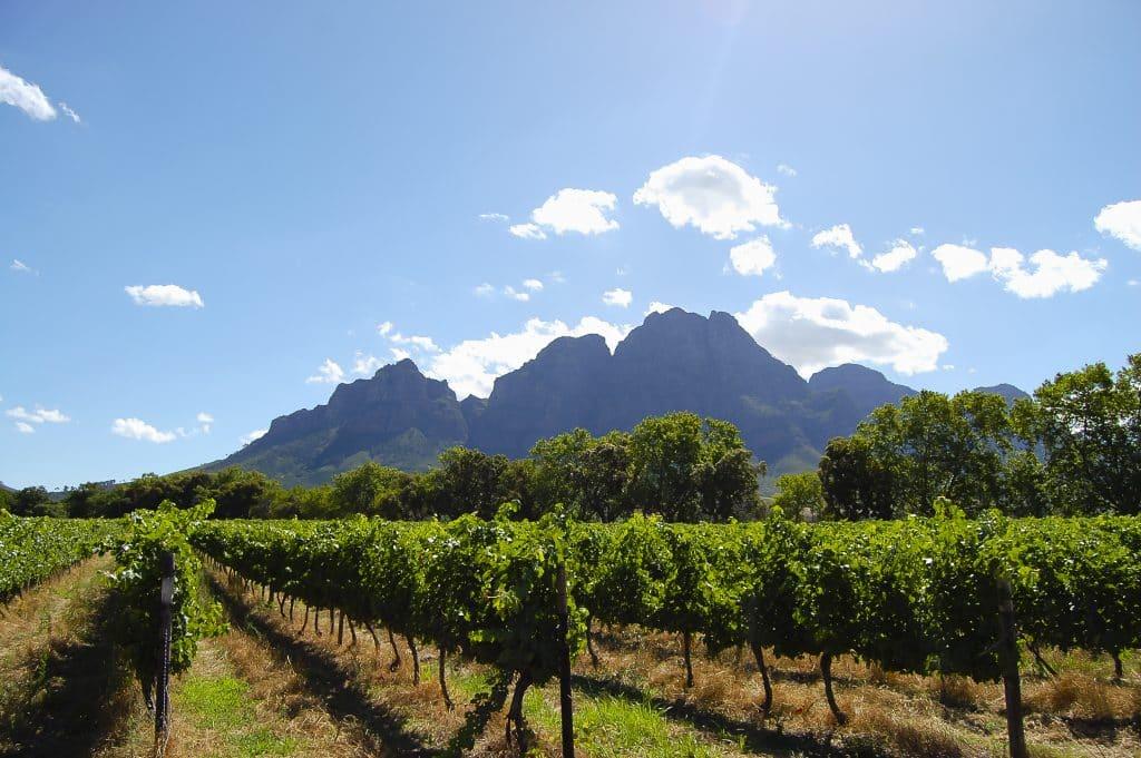 Wijngaard in Stellenbosch, Zuid-Afrika