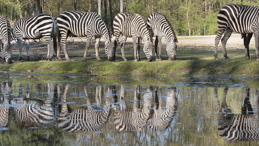 Zebra's in Burger's Zoo