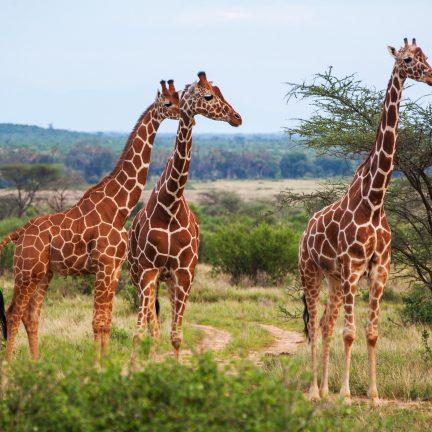 Giraffe op de savanne in Afrika
