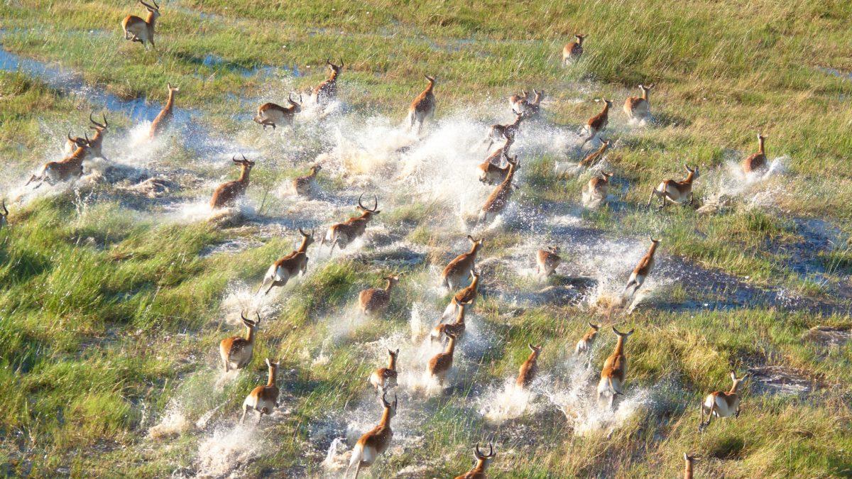 Rennende impala's in de Okovango Delta