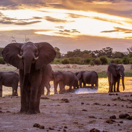 Olifanten drinken tijdens zonsondergang