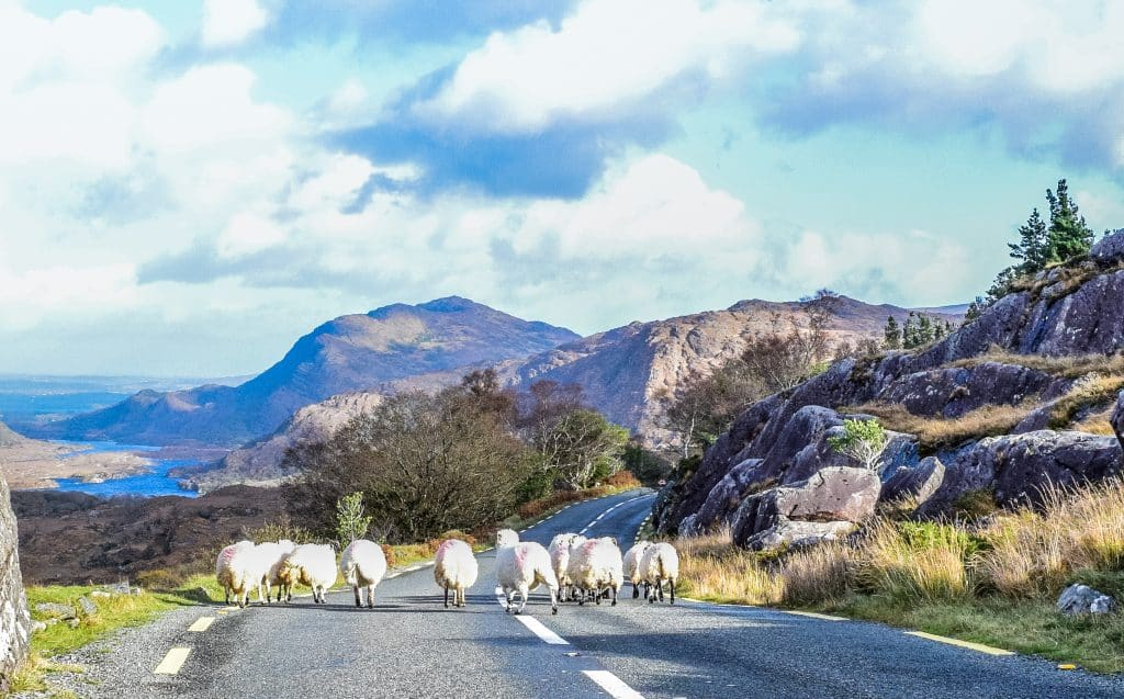 Schapen op de ring of kerry in ierland