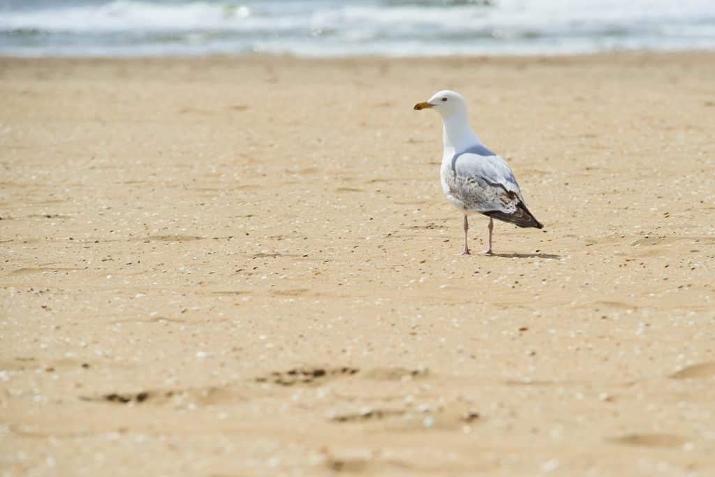 Meeuw op het strand van Scheveningen