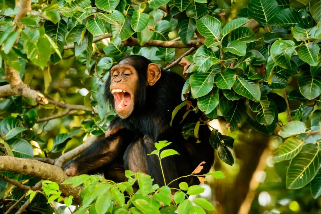 Chimpansee in Gambia