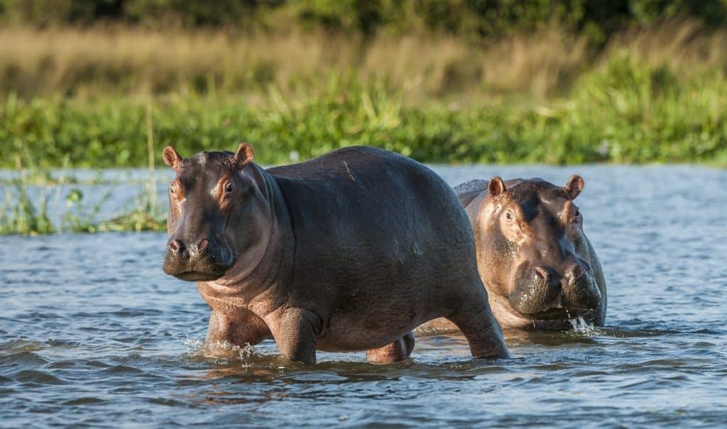 nijlpaarden in het water