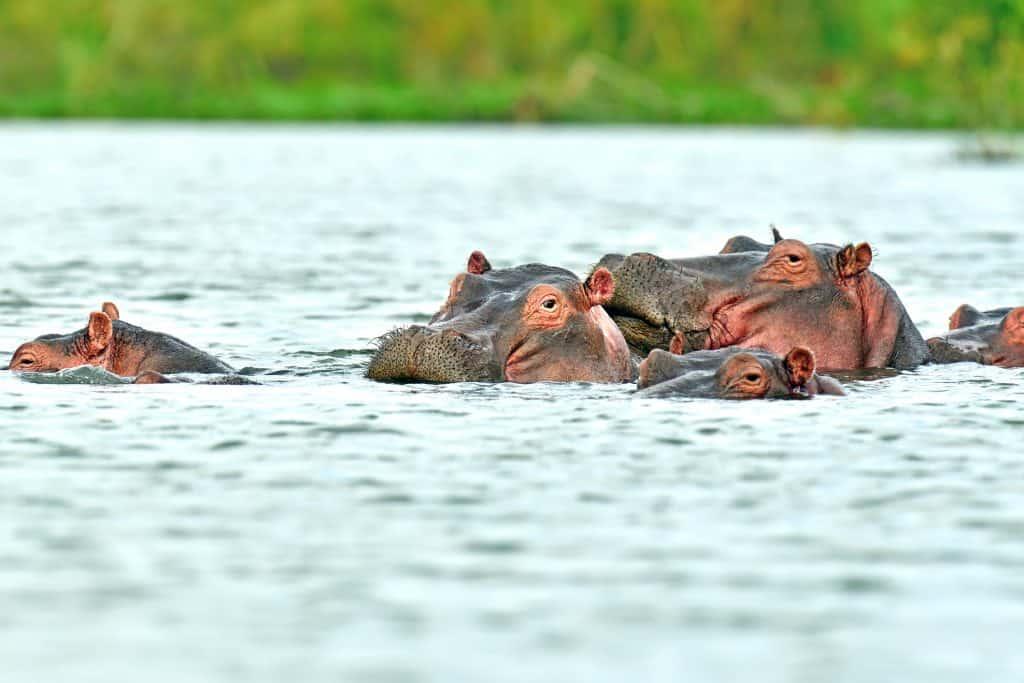 Nijlpaarden in Kenia