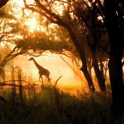 Giraffe in Disney's Animal Kingdom Lodge in Orlando, Florida