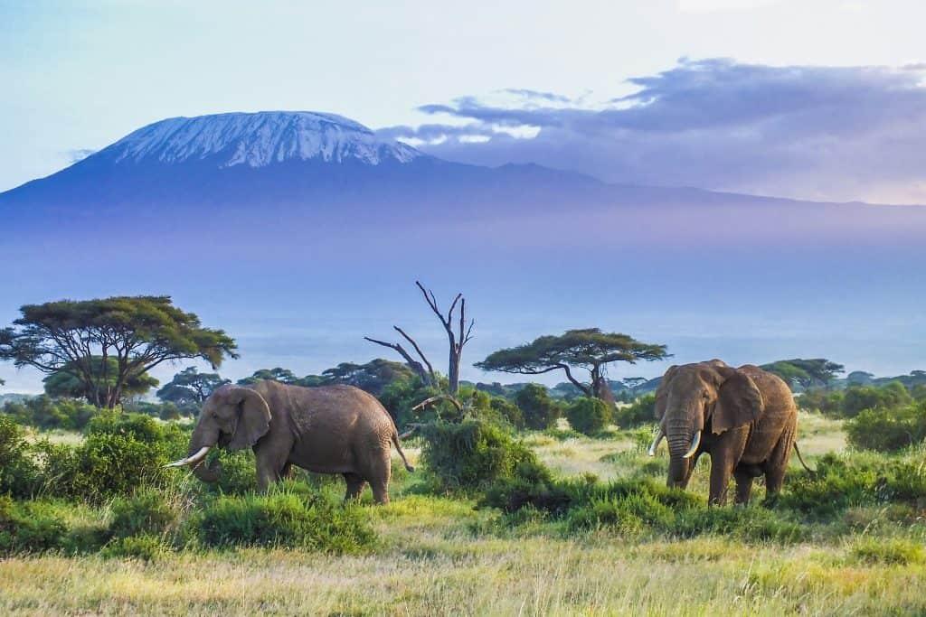 Olifanten bij de Kilimanjaro in Kenia