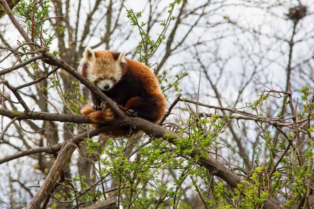 Rode panda in dierentuin Schönbrunn in Wenen, Oostenrijk