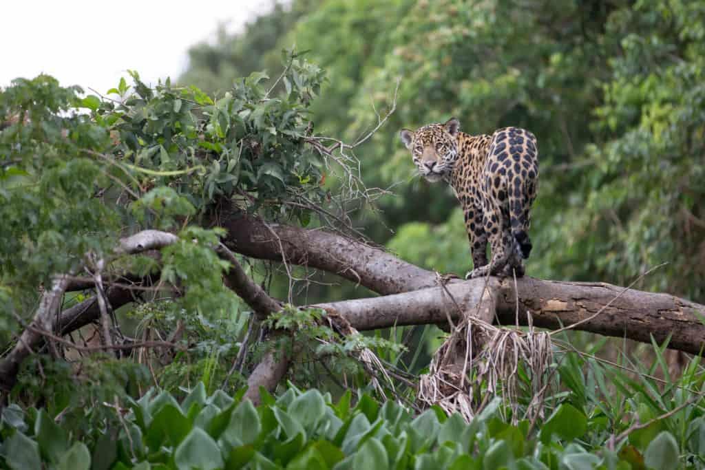 Jaguar op een boom