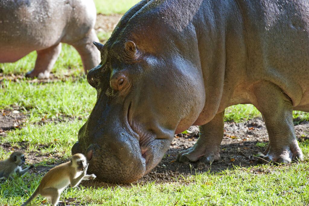 Nijlpaard en een kleine aap in Haller Park, Kenia