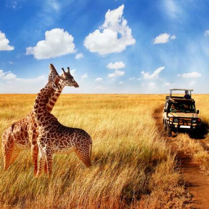 Twee giraffes tijdens een jeepsafari in Kenia