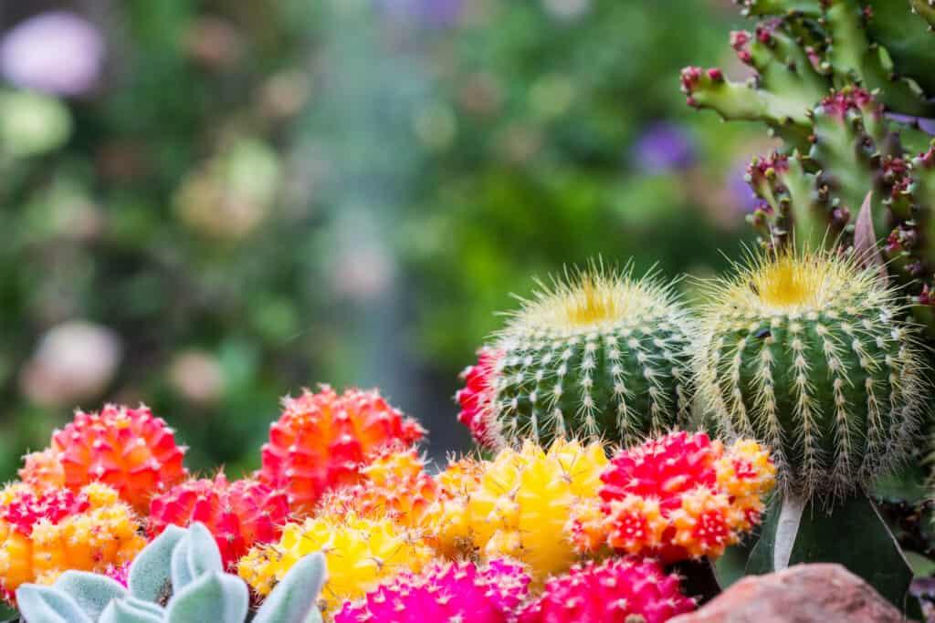 Cactussen in Huntington Library in Pasadena, Californië