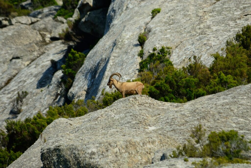 Wilde geit op het Italiaanse eiland Montecristo
