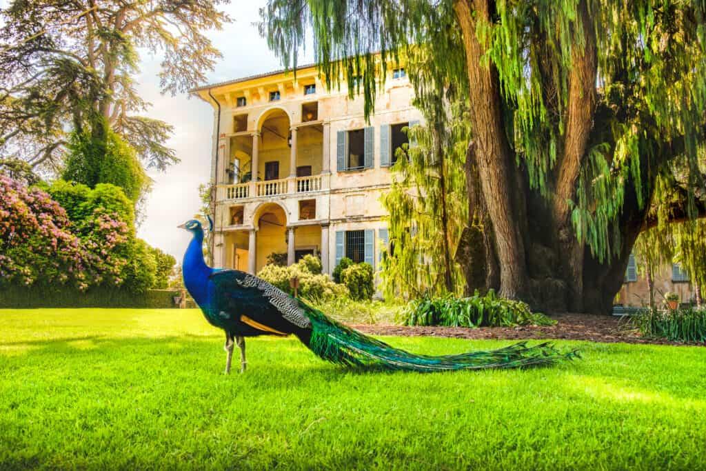 Pauw op Isola Madre in het Lago Maggiore, Italië