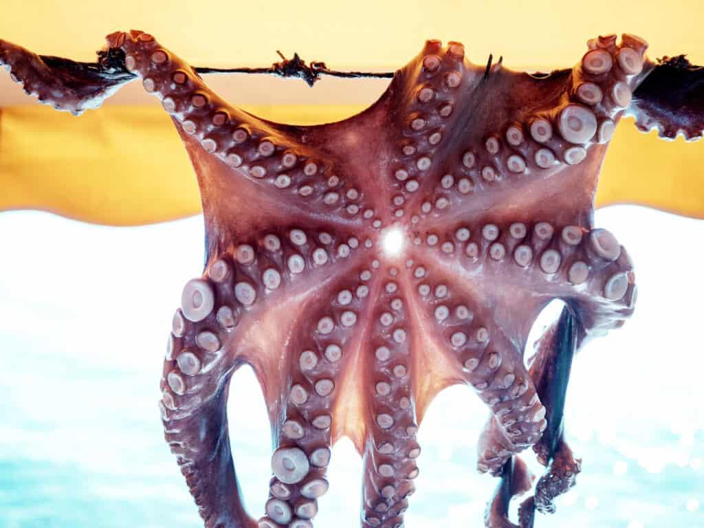 Octopus hangt te drogen