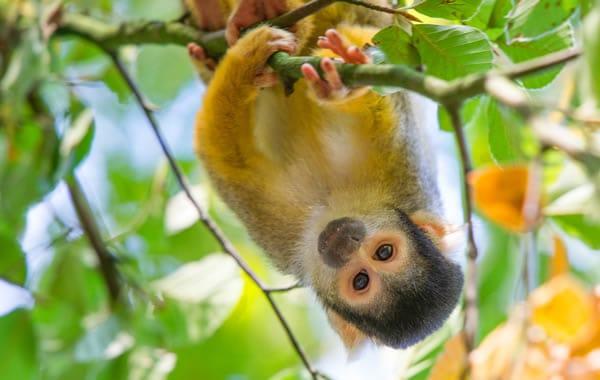 Gele aap hangt op de kop in de Apenheul in Apeldoorn, Gelderland