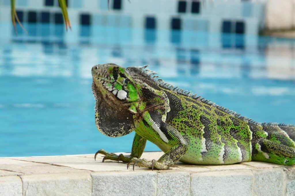 Leguaan bij het zwembad van Pousada Morada dos Ventos in Pipa, Brazilië