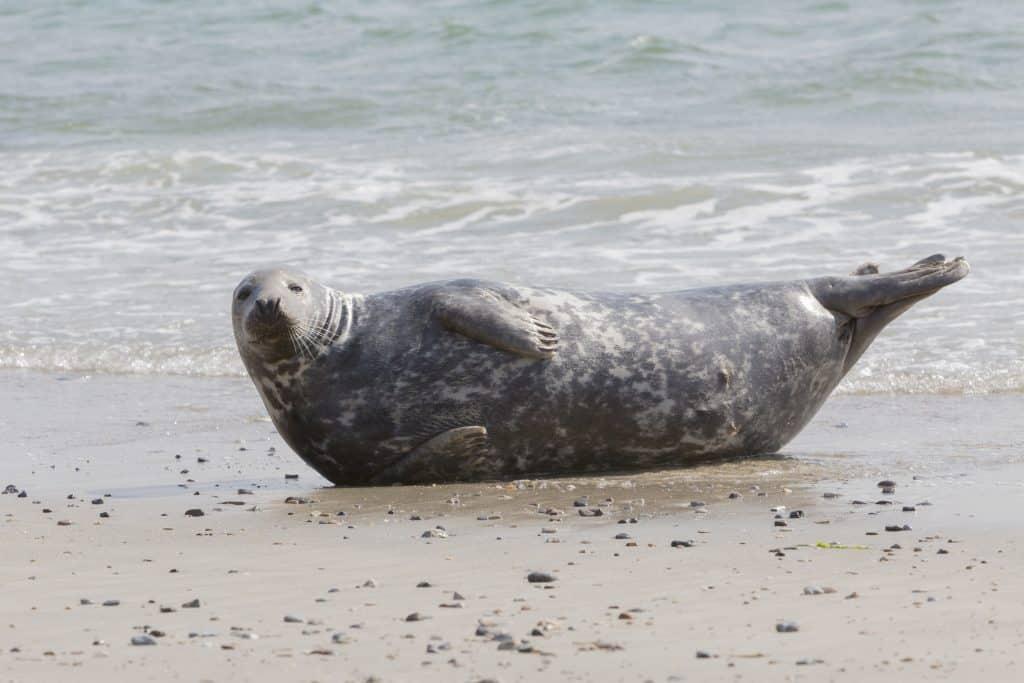 Zeehond op het strand