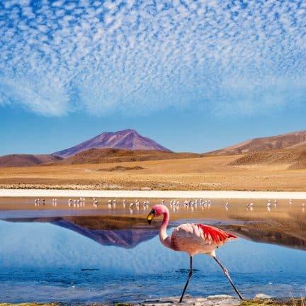 Kleurrijke Flamingo in Bolivia