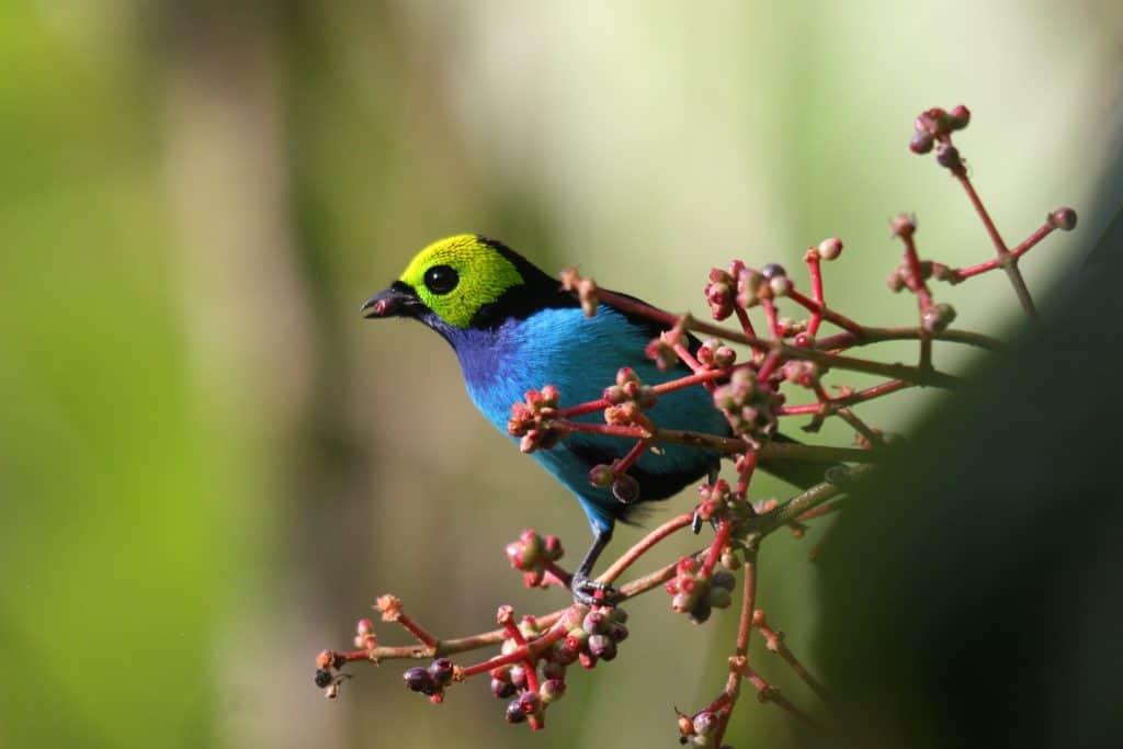 De Paradise Tanager vogel in een boom