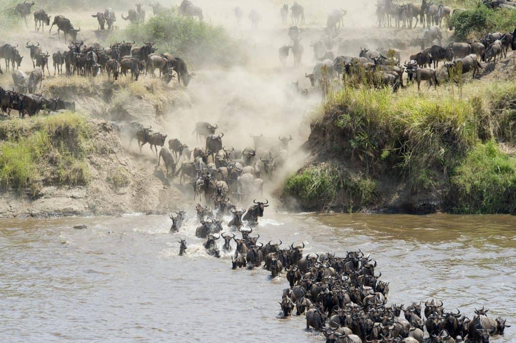 Gnoes trekken door de Mara rivier tijdens de Grote Trek in Tanzania