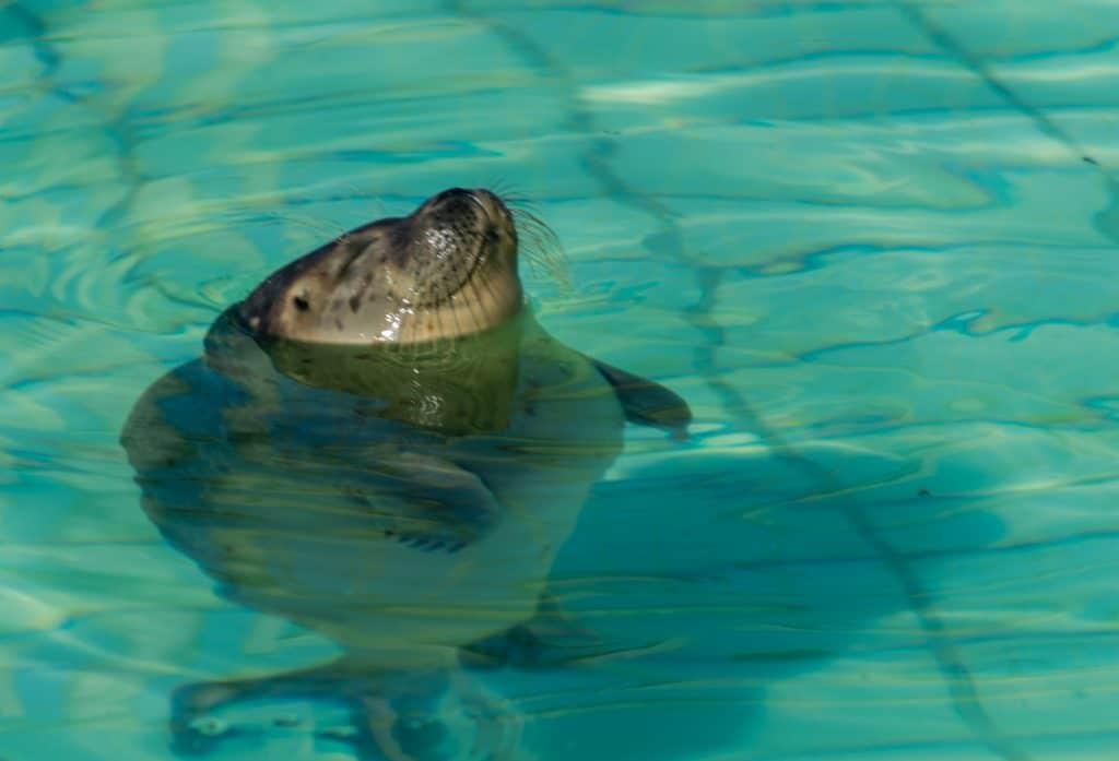 Jonge zeehond in zeehondencentrum Pieterburen