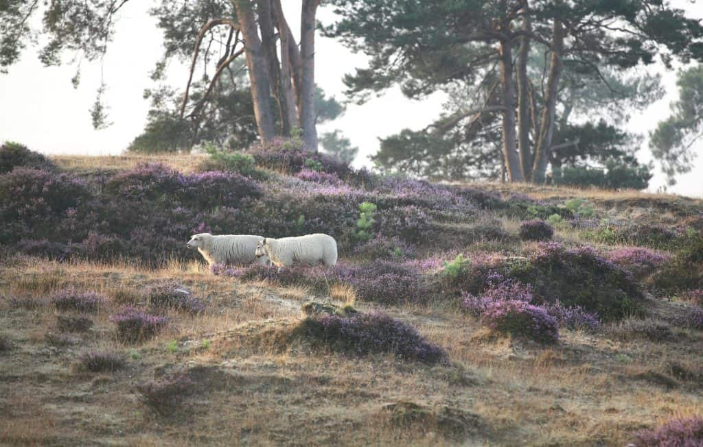 Schapen op de heide in het Drents-Friese Wold