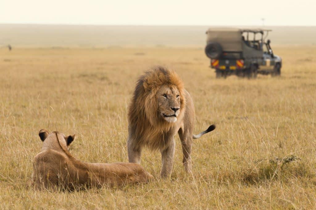 Twee leeuwen en jeep in Masai Mara Nationaal Park, Kenia