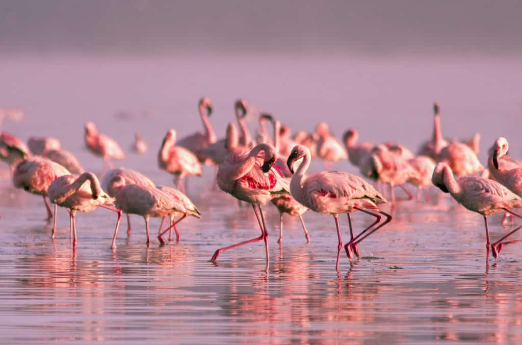 Flamingo's in Nayvasha meer, Kenia