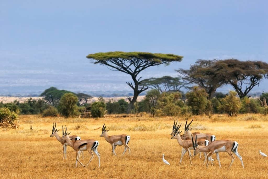 Gazellen op de savanne van Amboseli