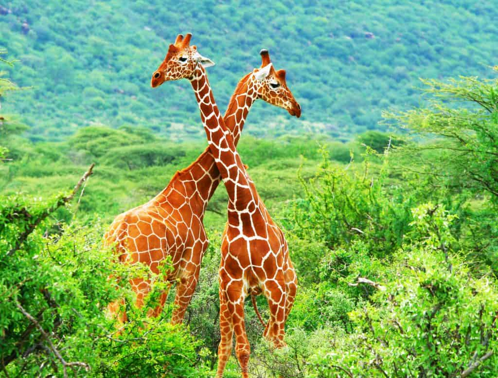 Twee giraffes in Samburu National Park