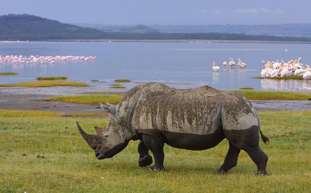 Witte neushoorn bij een meer in Kenia
