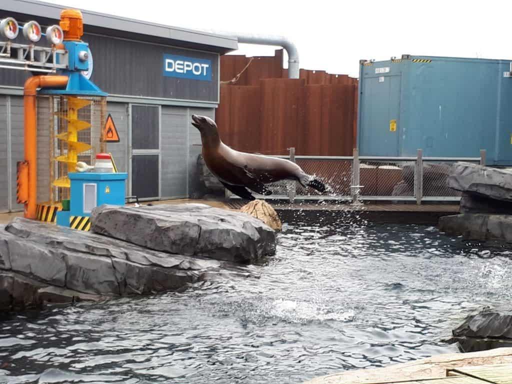 Zeeleeuw springt uit het water tijdens de zeeleeuwenshow