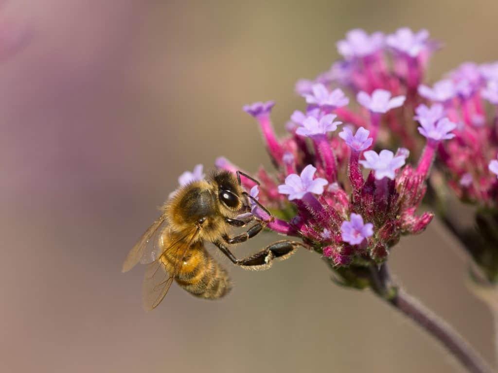 Bij zuigt nectar uit een bloem