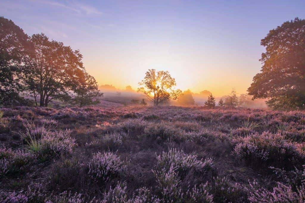 Paarse Heide in de Hoge Kempen