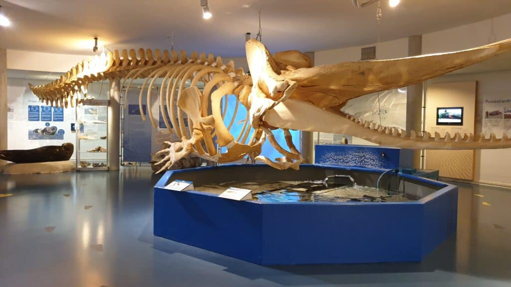 Skelet van een potvis in het Natuurcentrum Ameland